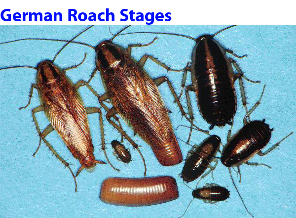 German Roach Nest http://www.yosemitepest.com/web/html/roaches%20and%20bed%20bugs.html